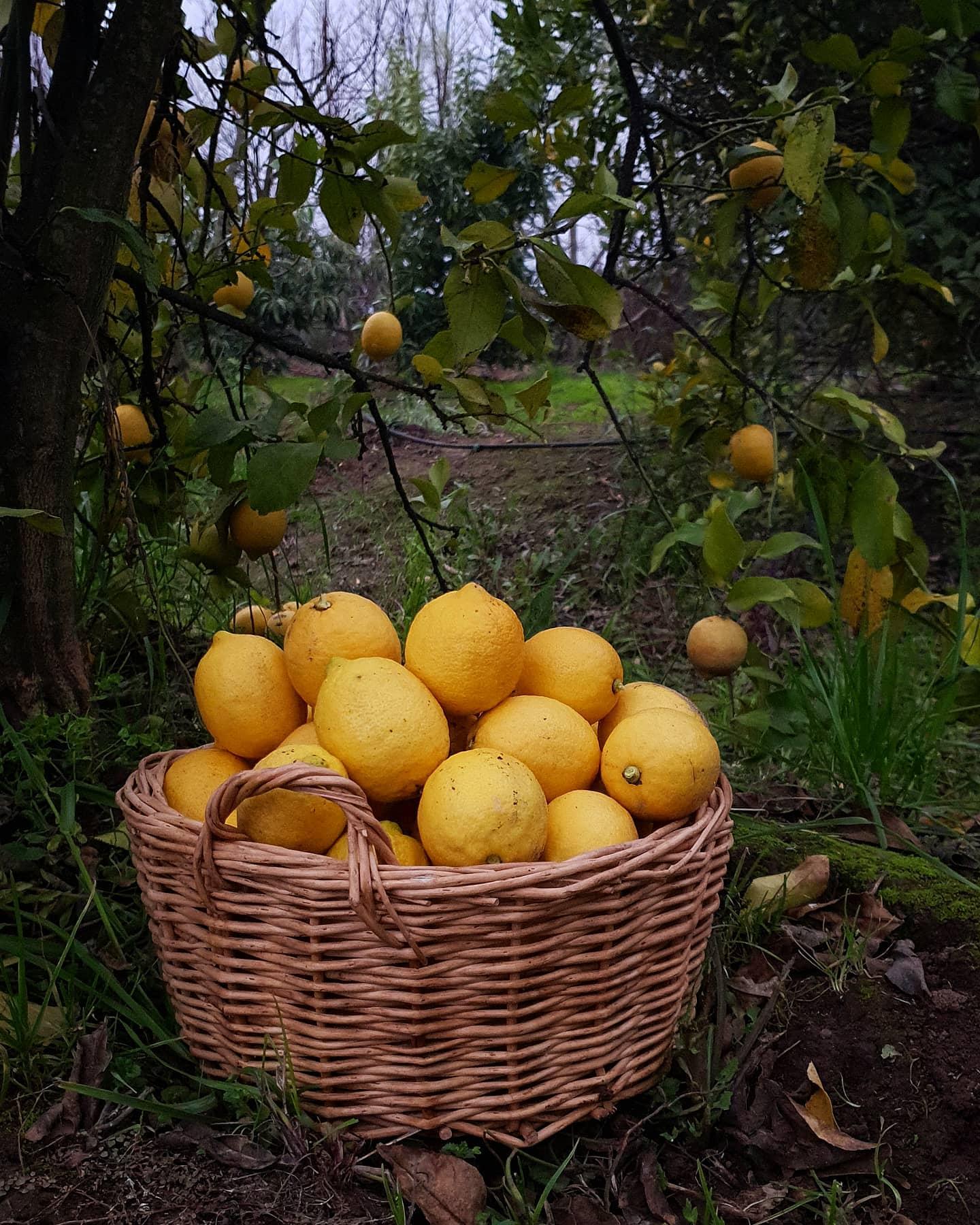 Cosecha limones