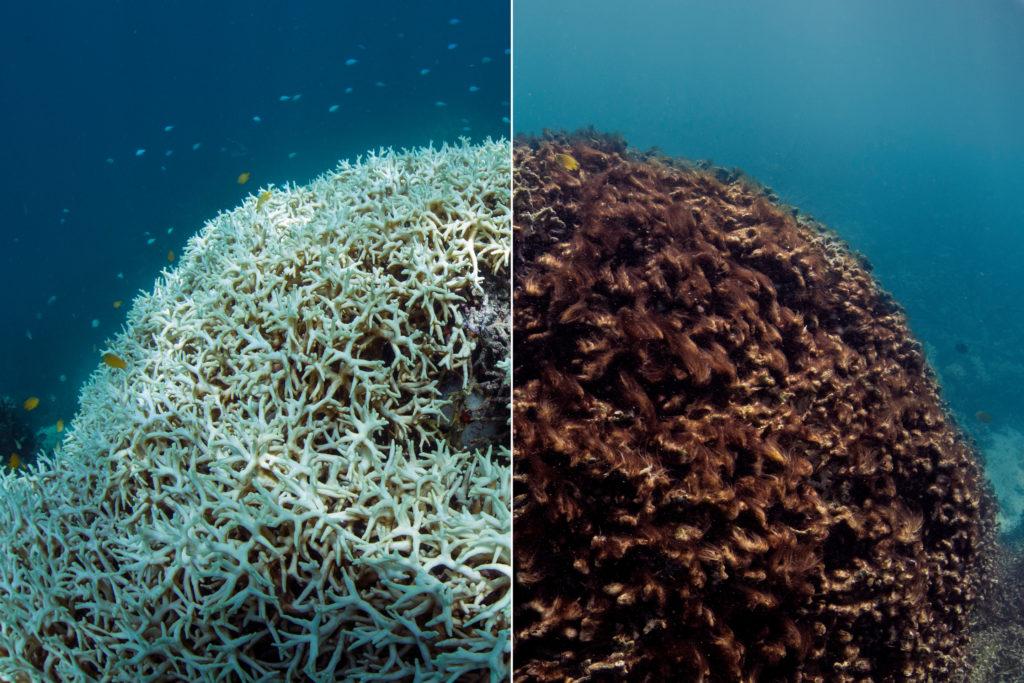 coral muerto