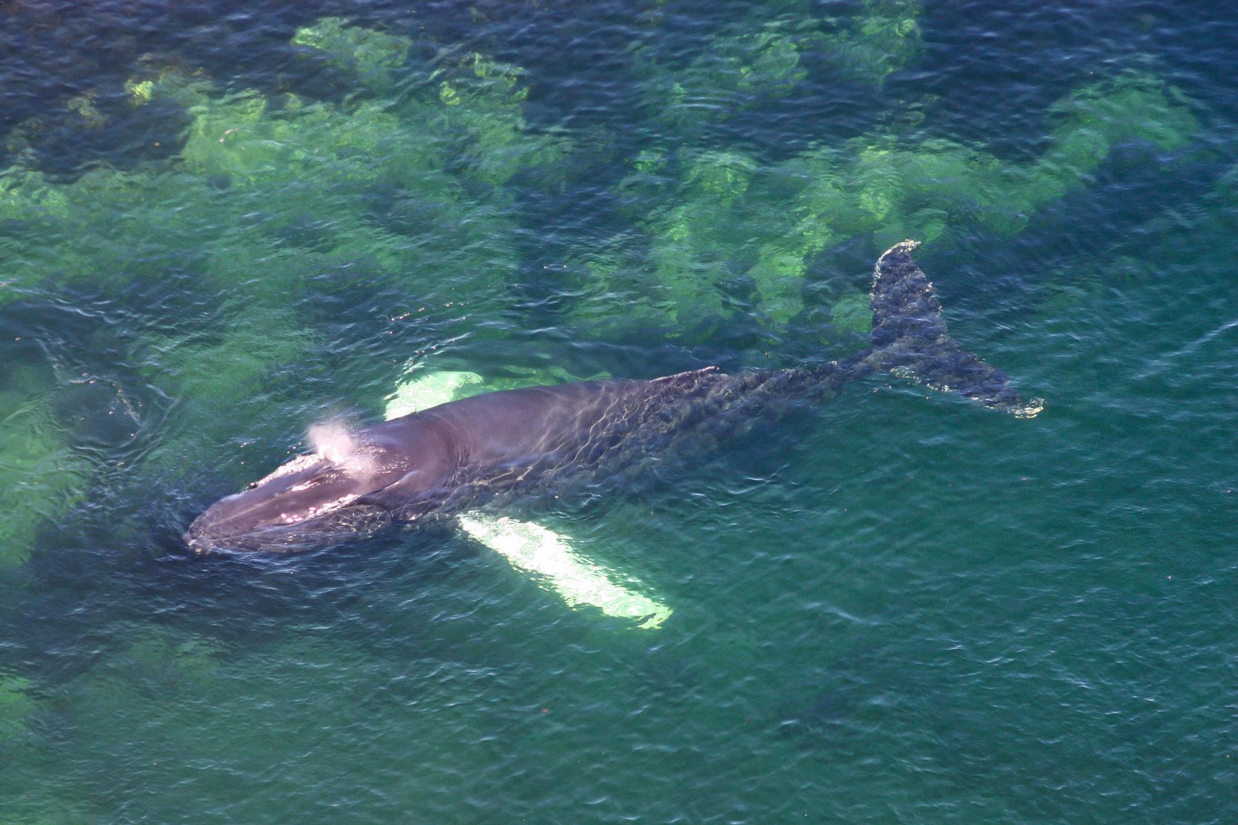 Las ballenas, el tope de la cadena alimentaria