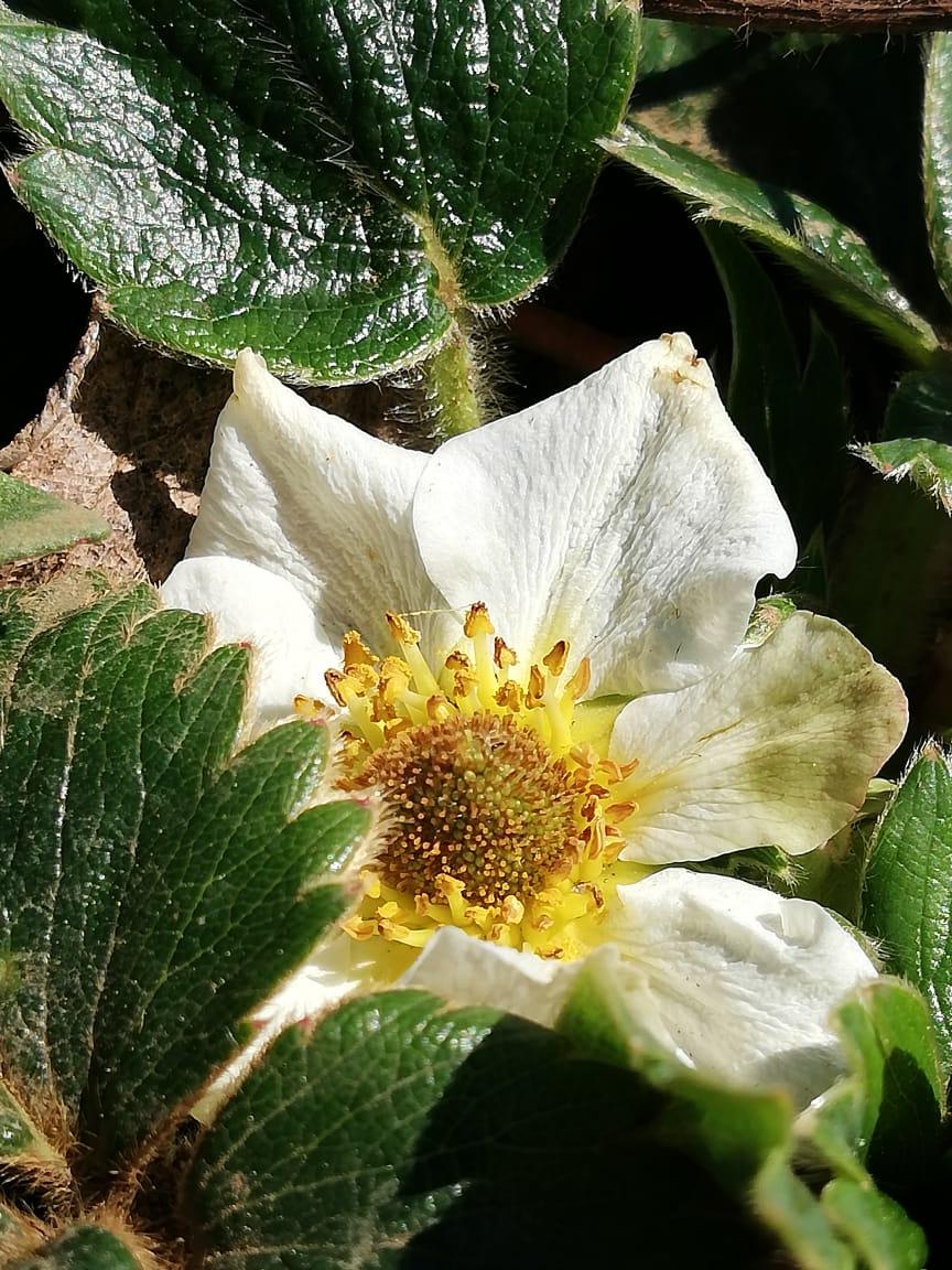 Frutilla blanca flor