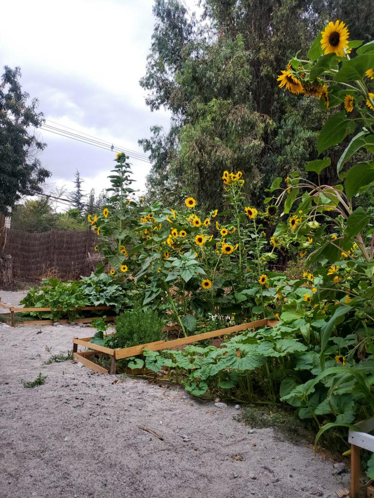 Girasoles en el huerto