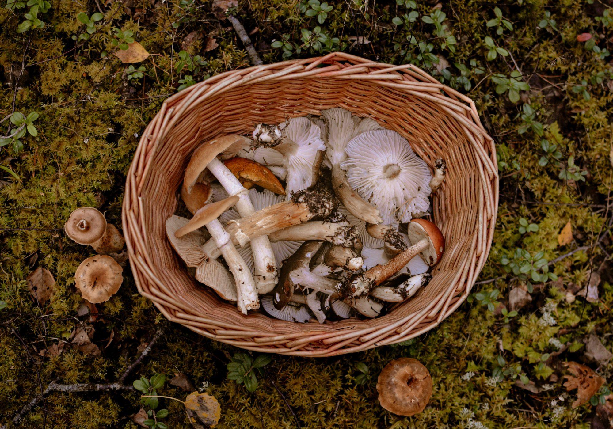 Hongos silvestres comestibles: un viaje a las profundidades del bosque y la cocina de recolección