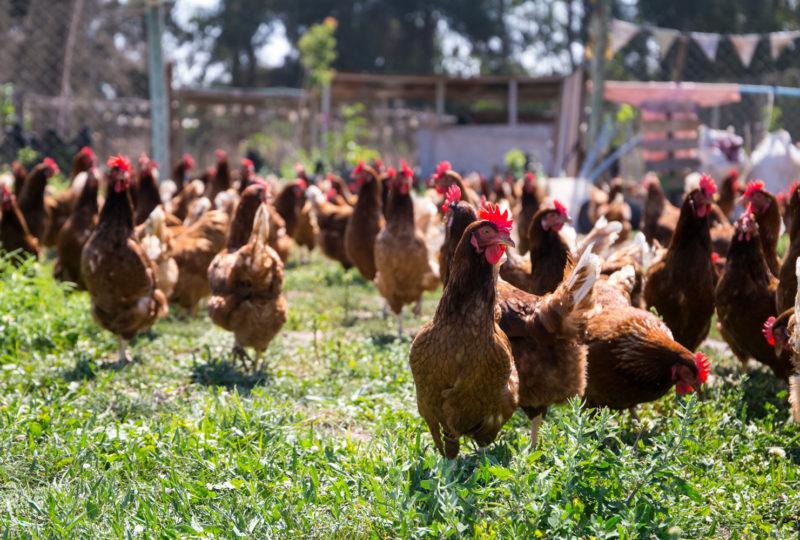 ¿Qué hay detrás de los huevos que consumimos?
