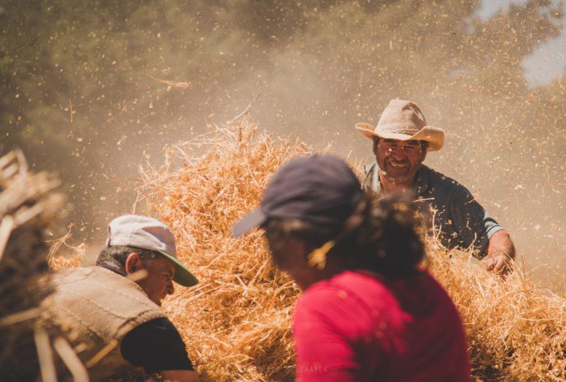 Cultivando trigo en el sur de Chile: Proyecto Siembra Trigo Negro