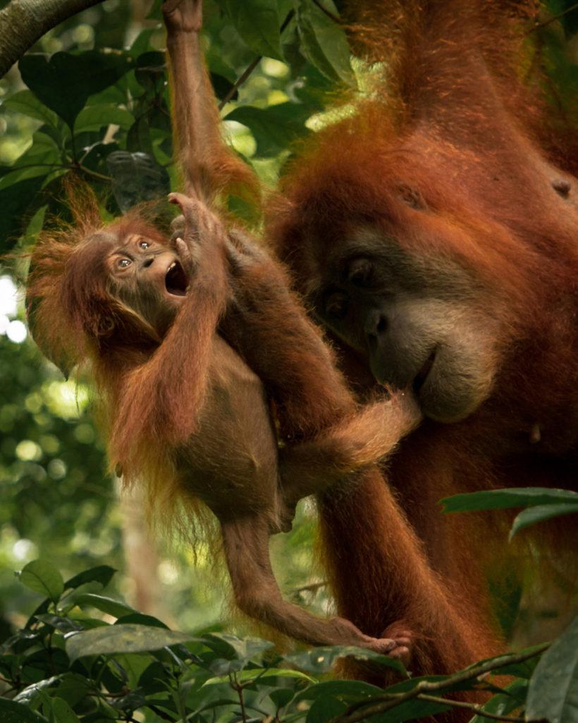 Orangután y cría