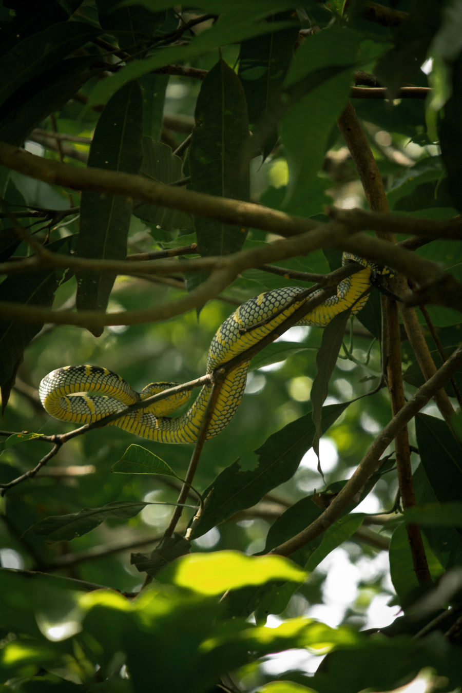Serpiente francotirador verde